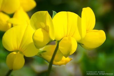 Birdsfoot Trefoil. Copyright © Shelley Banks, all rights reserved