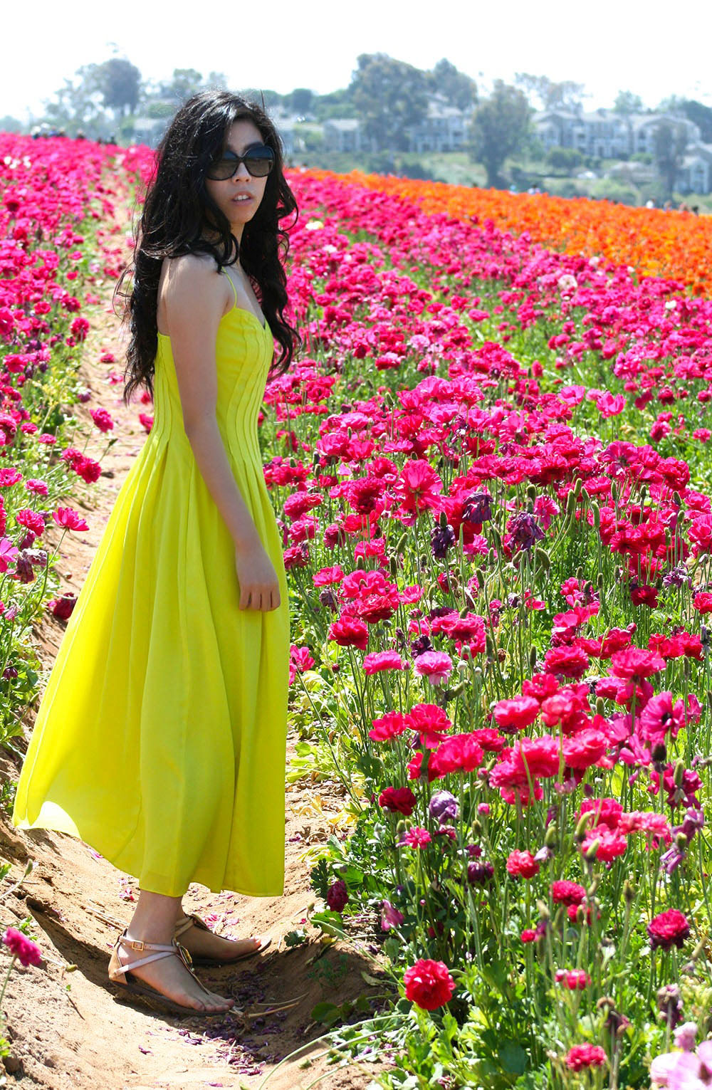 ranunculus in carlsbad_cool flower fields