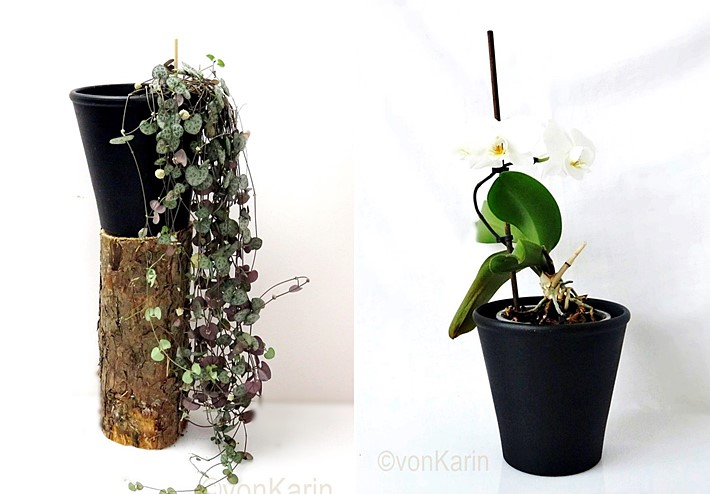 Pilea-und-Orchidee-in-schwarzem-Blumentopf