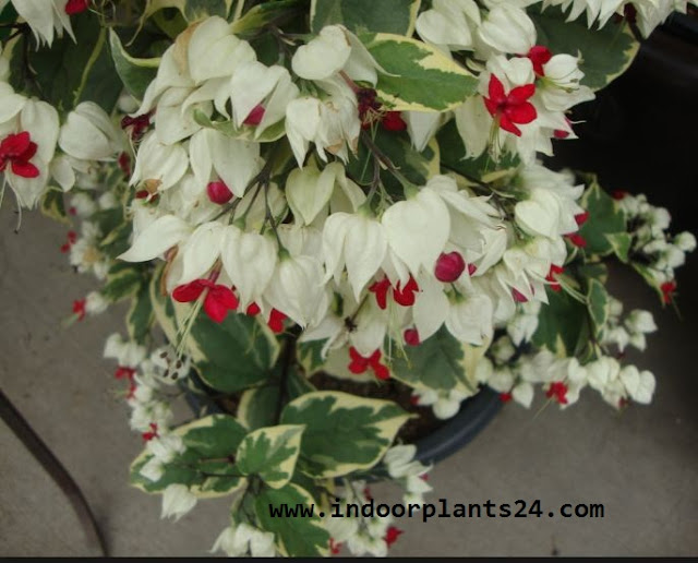 clerodendrum thomsoniae care