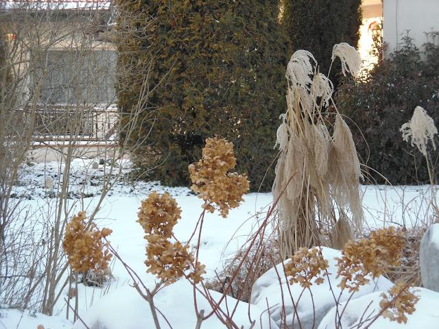 hydrangea paniculata zimą