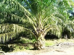 http://greenhealthyfarm.blogspot.com/2014/04/how-to-start-and-grow-cassava-in.html