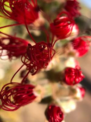 [Myrtaceae] Melaleuca macro.