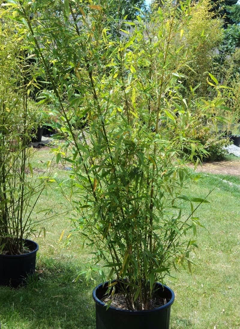 Phyllostachys Nigra In Pots Life According To Lenetta Planting Running Black Bamboo In Pots