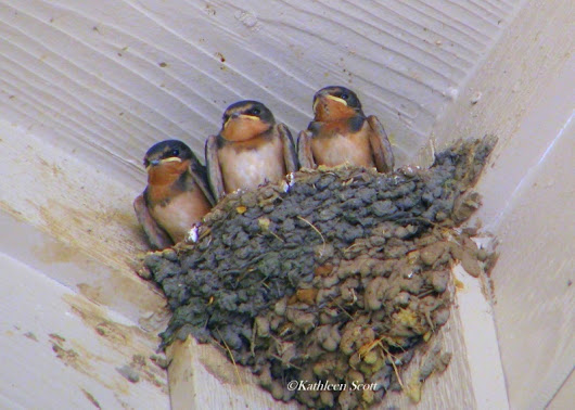 Hill Country Mysteries: Barn Swallows, Texas Hill Country summer residents