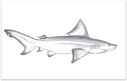 Bull shark Drawing