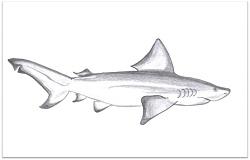 Bull shark Drawing