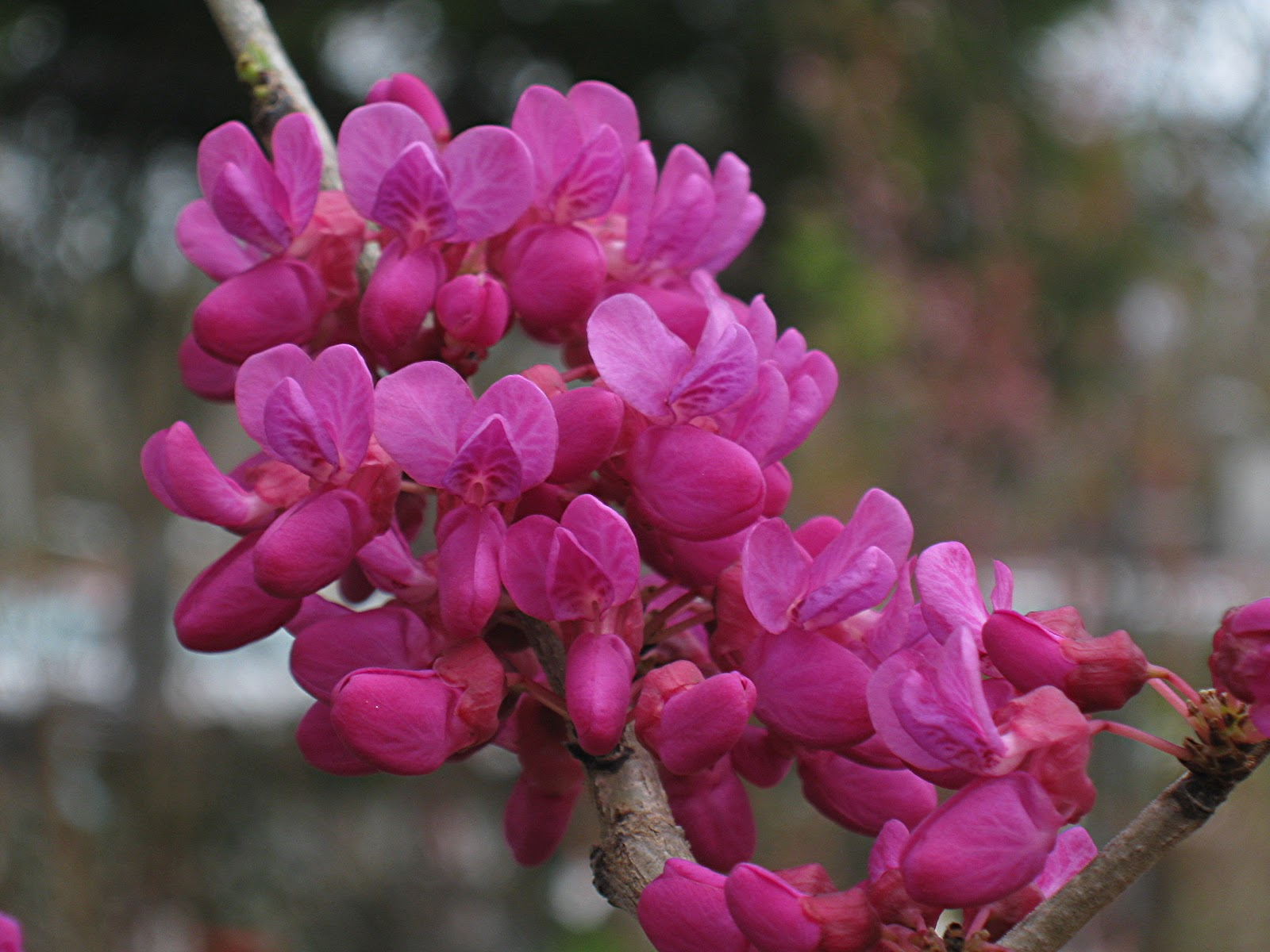 Redwood Barn Nursery Lilacs And Redbuds For Spring