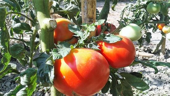 cultura de tomate in camp