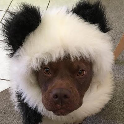 dog in panda costume