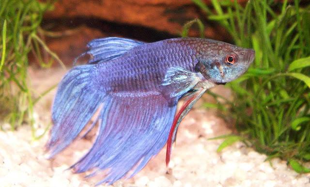 Cara Cepat Memanjangkan Ekor Ikan Cupang