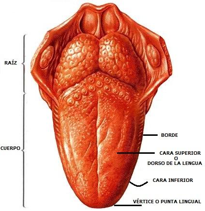 Imagen de la lengua indicando sus partes