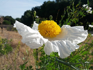 Single Matilija poppy flower