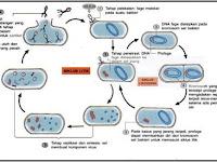 Tahapan Reproduksi Virus secara Litik dan Lisogenik