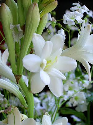 ảnh hoa huệ trắng
