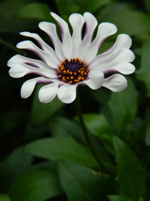 Margarita White Spoon Osteospermum African Daisy at the Allan Gardens Conservatory 2016 Spring Flower Show by Paul Jung Gardening Services Toronto