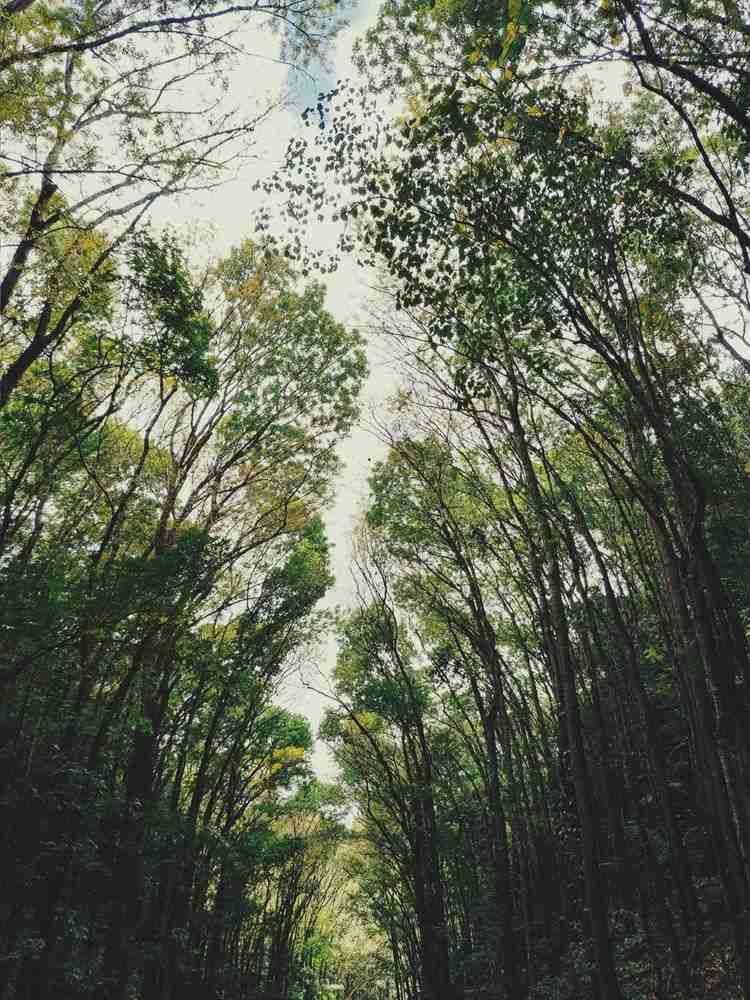 man-made forest of mahogany trees in Bohol