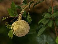 Importance of Bilva Fruit in Worship of Shiva