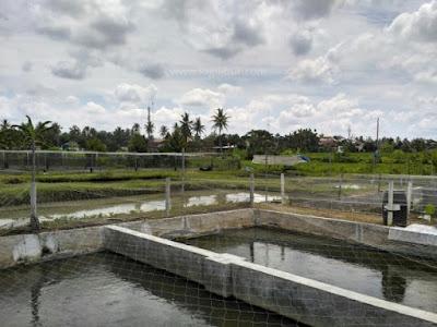 Budidaya Ikan Desa Wisata Malangan