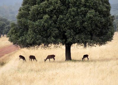 Ciervos en Cabañeros
