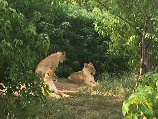 leijonat, mashatu, botswana, riitta reissaa, safari