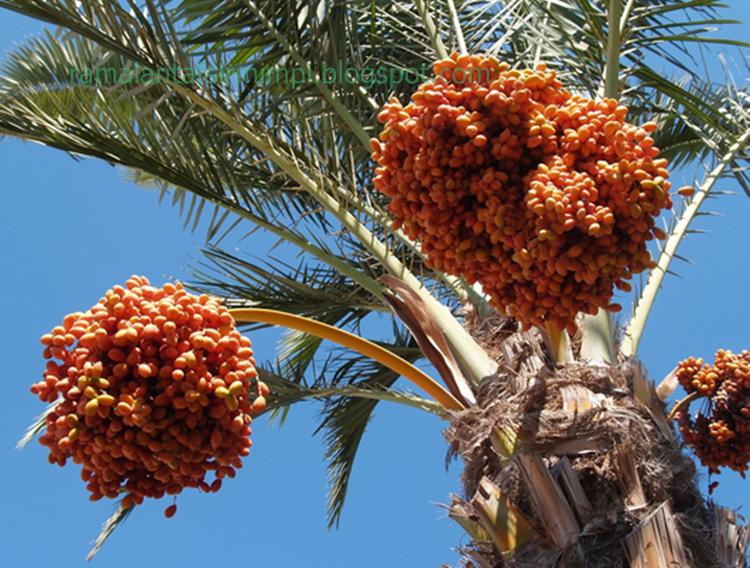 Jadi apa yang kami akan perbincangkan disini adalah buah kurma 9 Arti Mimpi Makan Buah Kurma Menurut Primbon Jawa