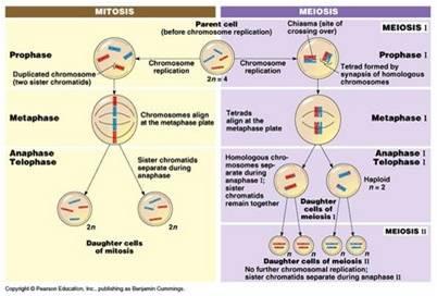 venn diagram of the number system 2004 saturn ion power window wiring blog de biologia: reproducción la célula: mitosis y meiosis
