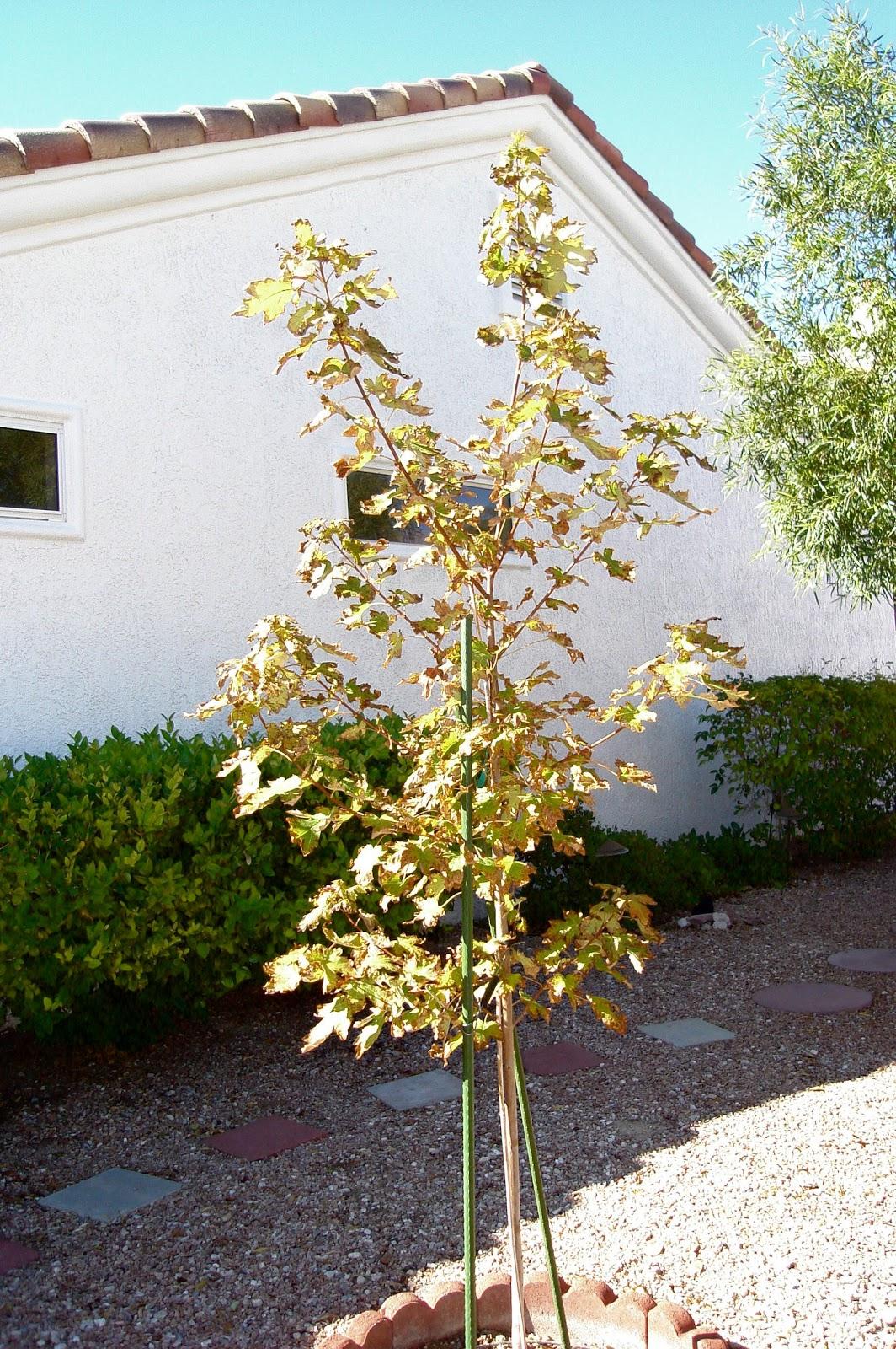 Autumn Blaze Maple Not A Good Choice For Las Vegas