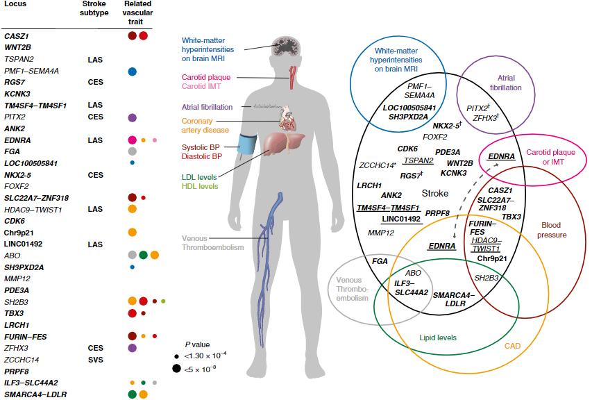 図:脳卒中に関連する32の遺伝領域