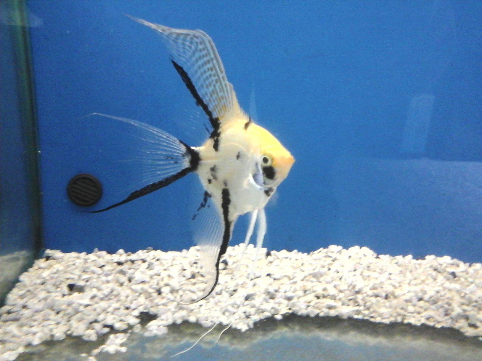 Pirana aquarium pesci tropicali d 39 acqua dolce lo scalare for Pesci acqua dolce