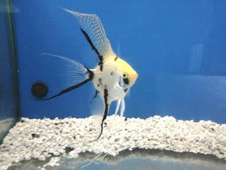 Pirana aquarium pesci tropicali d 39 acqua dolce lo scalare for Pesci acqua dolce online