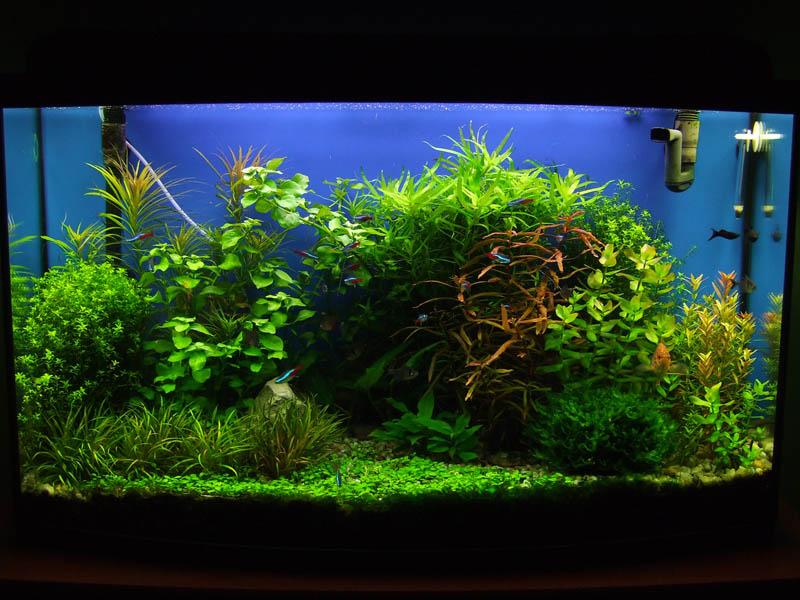 cây rau răm trồng tiền cảnh trong hồ thủy sinh