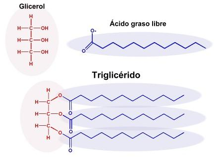 triglicéridos de enlace éster y diabetes