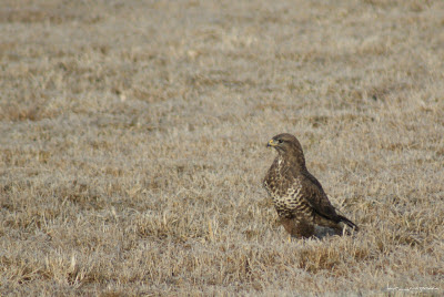 Sorecar Comun-CommonBuzzard-Buteobuteo-Mäusebussard-Egerészölyv-Busevariable