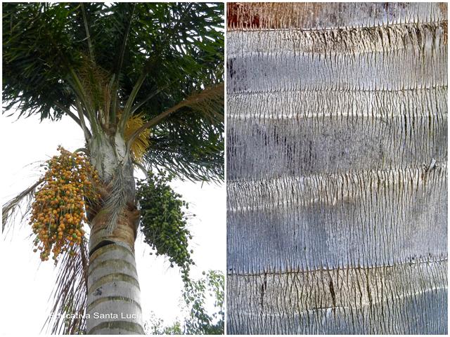 Tronco anillado de palmera pindó - Chacra Educativa Santa Lucía