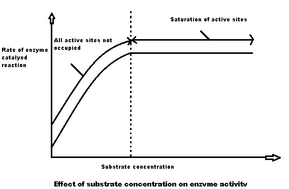 the effect of enzyme concentration on enzyme activity coursework The effect of substrate concentration on the rate of enzyme-controlled reactions remember that in biology or biochemistry, the reactant in an enzyme reaction is known as the substrate what follows is a very brief and simple look at a very complicated topic.