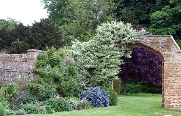 лох серебристый у садовой арки