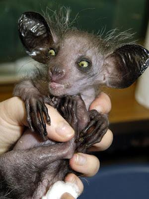 www.fertilmente.com.br - O Aye aye é um animal pequeno, que vem perdendo seu habitat para a expansão humana