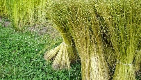 Tanaman flax untuk membuat kain linen