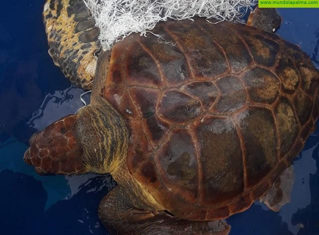 Una tortuga boba se recupera en el Centro de Rehabilitación de Fauna tras ser rescatada por pescadores enmallada con rafia