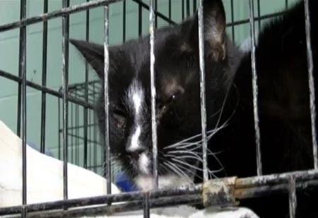 Burmese cat rescue maryland