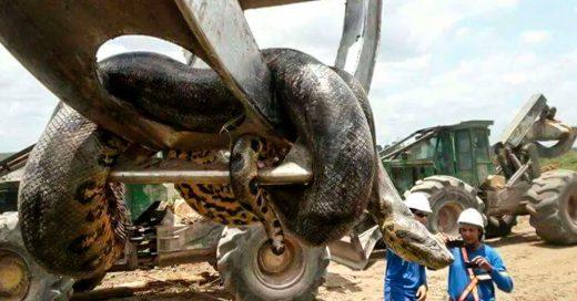 Encuentran en Brasil a una serpiente de casi media tonelada