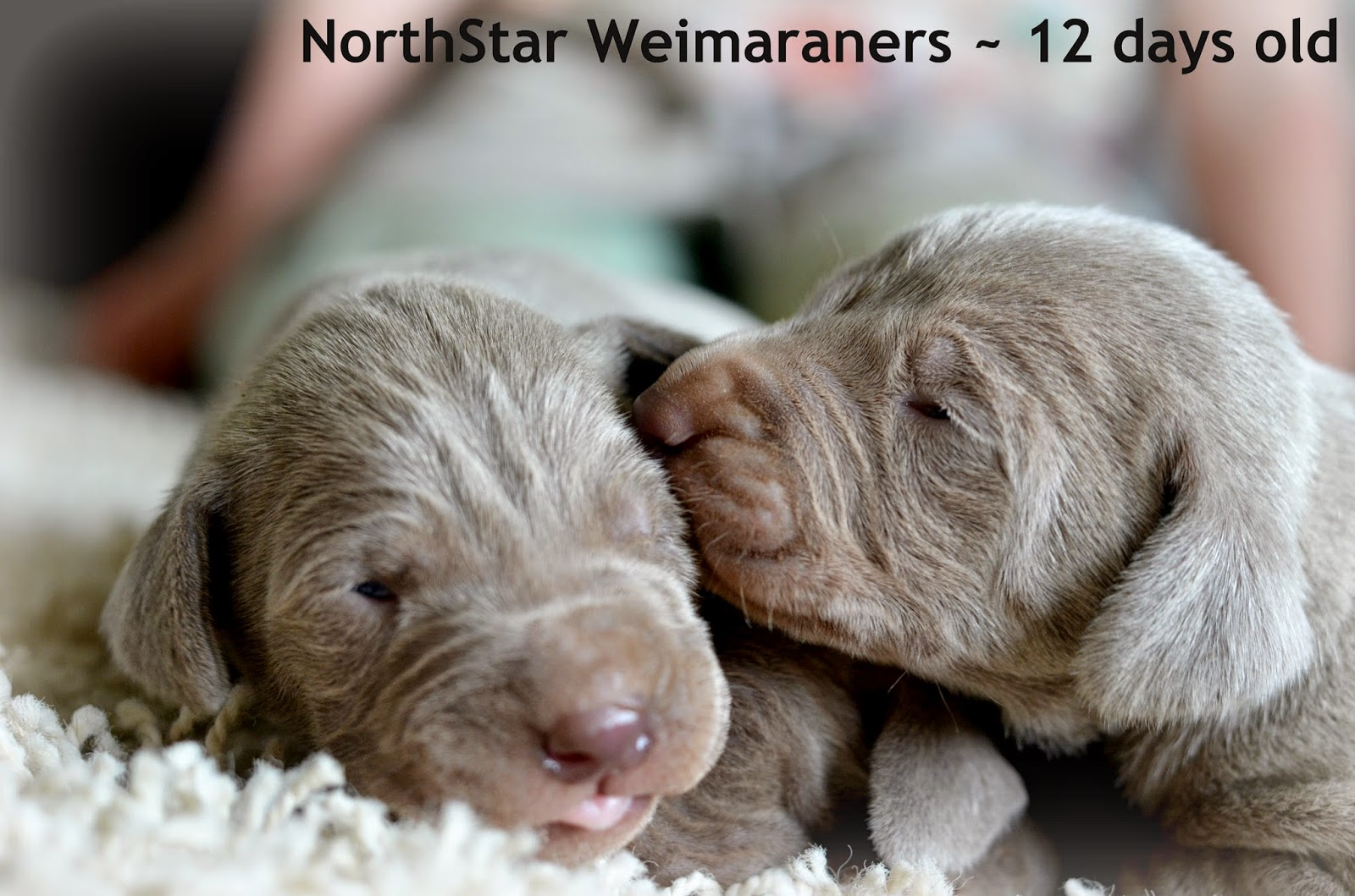 Northstar Weimaraners: Available Pups