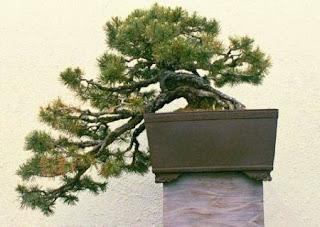 Cascade Bonsai style Kengai