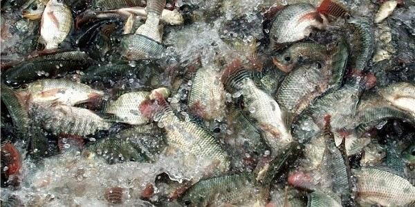 Heboh!! Muncul Ikan Non-Halal (Haram) di Malaysia, Seperti Apa Jenisnya?