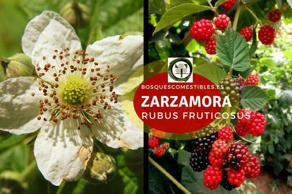 Zarzamora (Rubus fruticosus), Planta del género Rubus, familia Rosáceas.