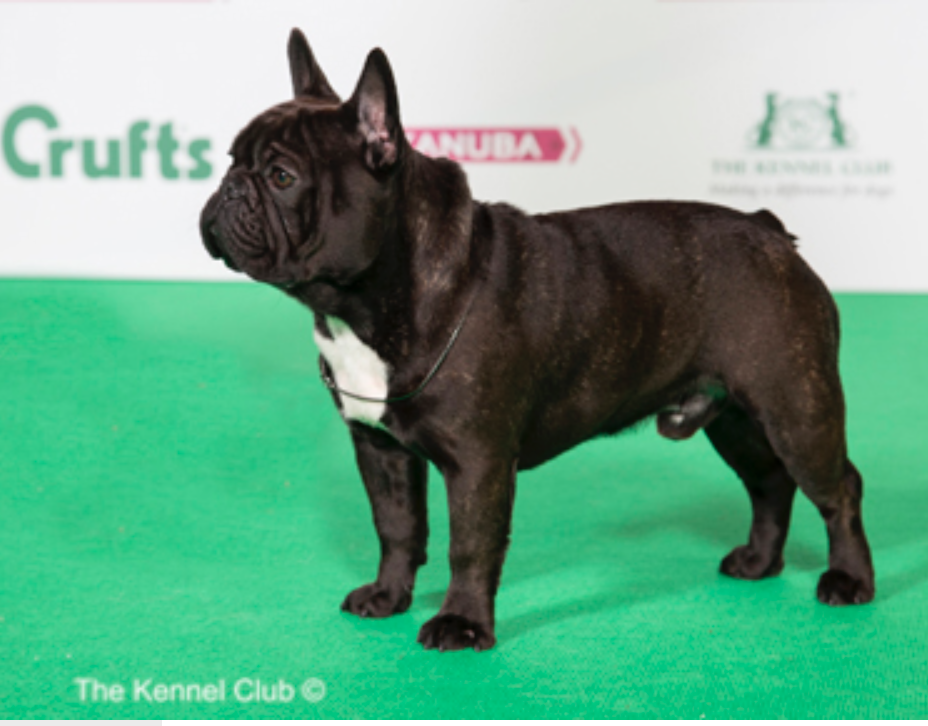 Pedigree Dogs Exposed - The Blog: The Frenchies that win ...
