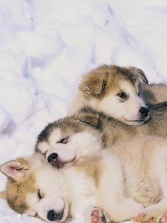 Lynn-m-stone-alaskan-malamute-puppies-in-the-snow: