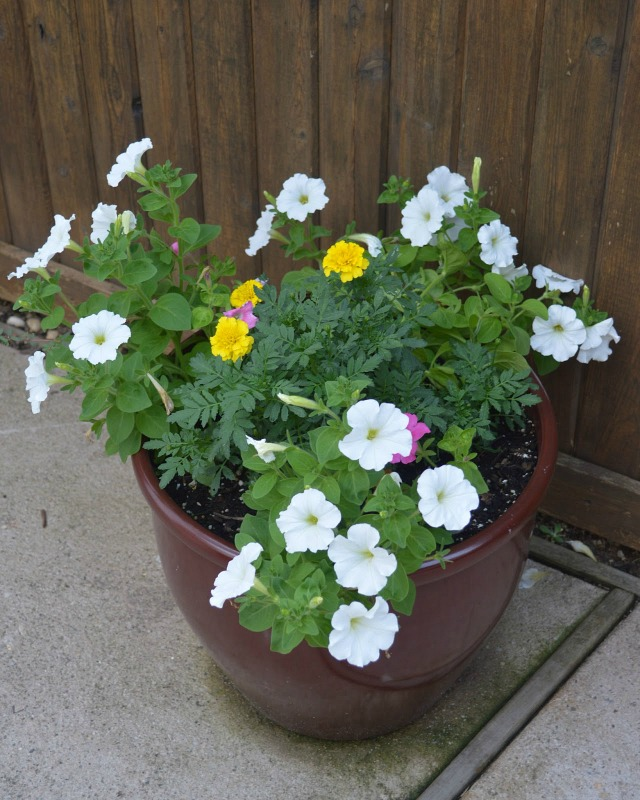 Brown Flower Pots with white petunias