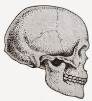 Tengkorak manusia Cro-Magnon